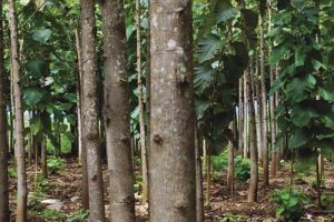 Teak Tree Plantation - Responsible Sourcing Policy